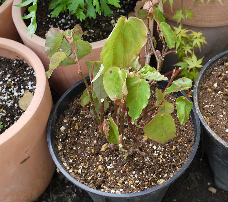 オサヒメ(木立性ベゴニア)をスリット鉢に植え替えた。2016年-6.jpg