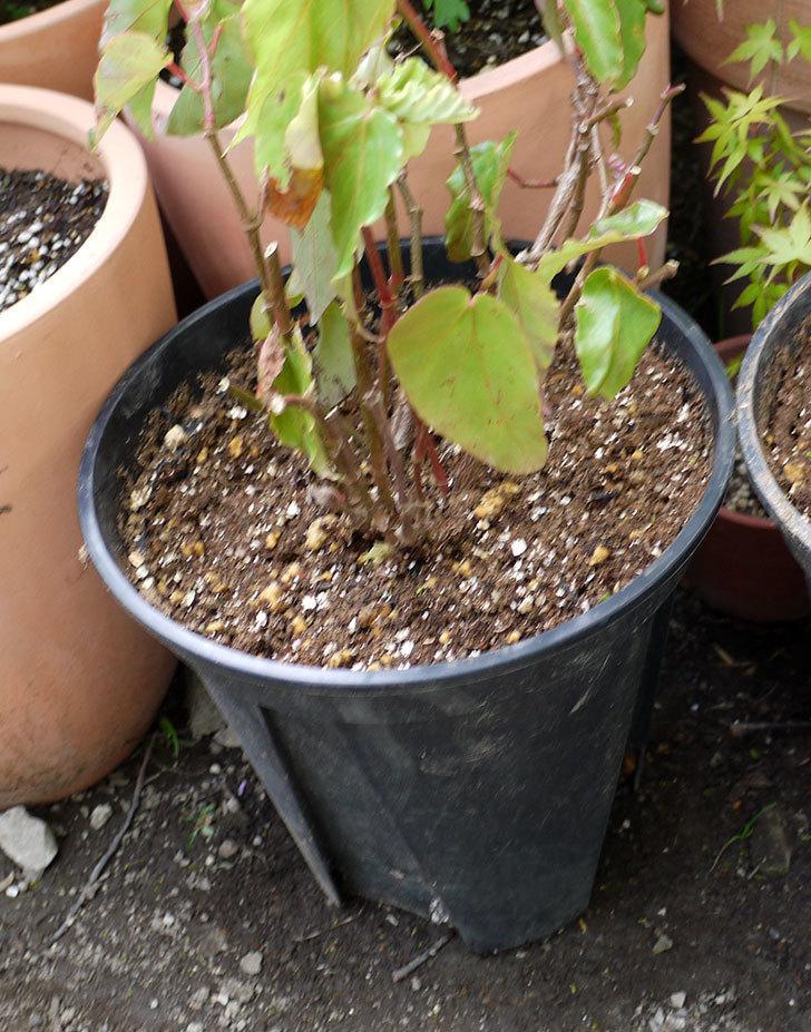 オサヒメ(木立性ベゴニア)をスリット鉢に植え替えた。2016年-8.jpg