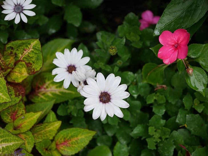オステオスペルマム-アキラの花がまた咲きだした。2019年-10.jpg