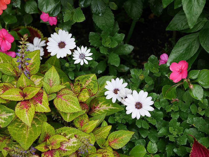 オステオスペルマム-アキラの花がまた咲きだした。2019年-12.jpg