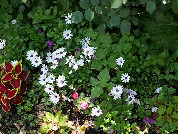 オステオスペルマム-アキラの花が増えて来た。2019年-1.jpg