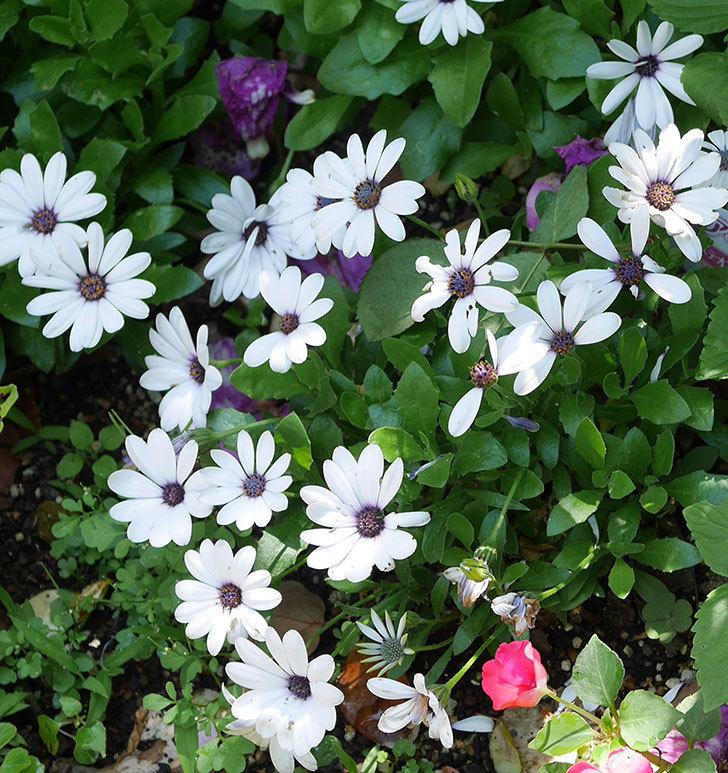 オステオスペルマム-アキラの花が増えて来た。2019年-2.jpg