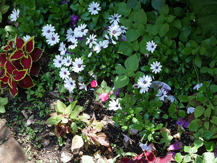 オステオスペルマム-アキラの花が増えて来た。2019年-3.jpg