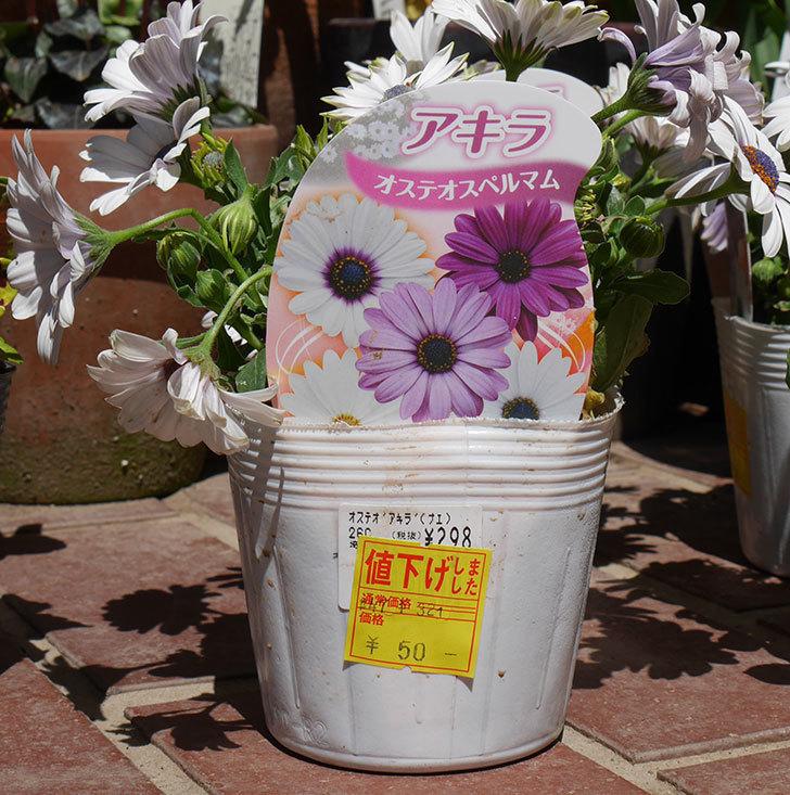オステオスペルマム-アキラの苗がホームズで54円だったのでを7個買って来た。2019年-4.jpg