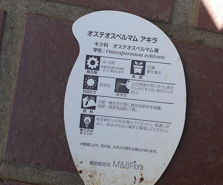 オステオスペルマム-アキラの苗がホームズで54円だったのでを7個買って来た。2019年-6.jpg