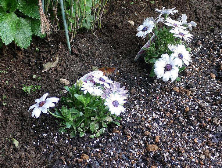 オステオスペルマム-アキラの苗を地植えした。2019年-10.jpg