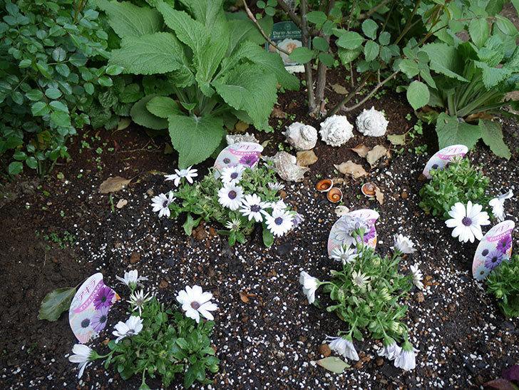 オステオスペルマム-アキラの苗を地植えした。2019年-12.jpg