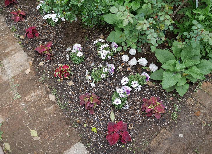オステオスペルマム-アキラの苗を地植えした。2019年-13.jpg