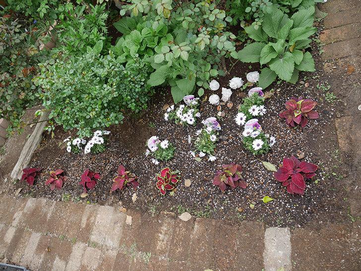 オステオスペルマム-アキラの苗を地植えした。2019年-14.jpg