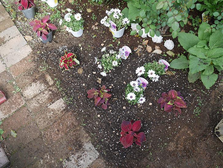 オステオスペルマム-アキラの苗を地植えした。2019年-4.jpg