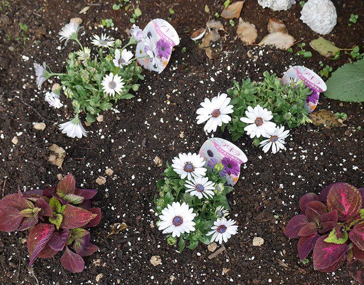 オステオスペルマム-アキラの苗を地植えした。2019年-5.jpg