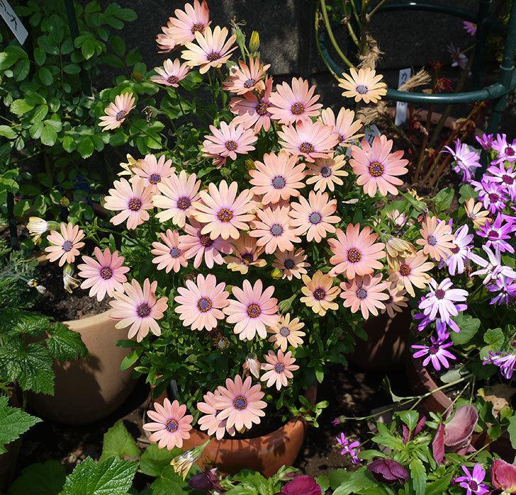 オステオスペルマム-セレニティ-ローズマジックの花がたくさん咲いた。2017年-1.jpg