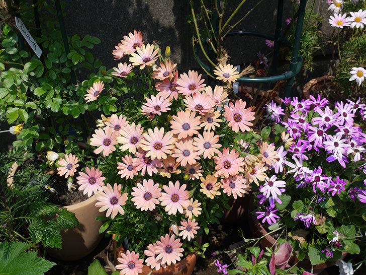 オステオスペルマム-セレニティ-ローズマジックの花がたくさん咲いた。2017年-4.jpg