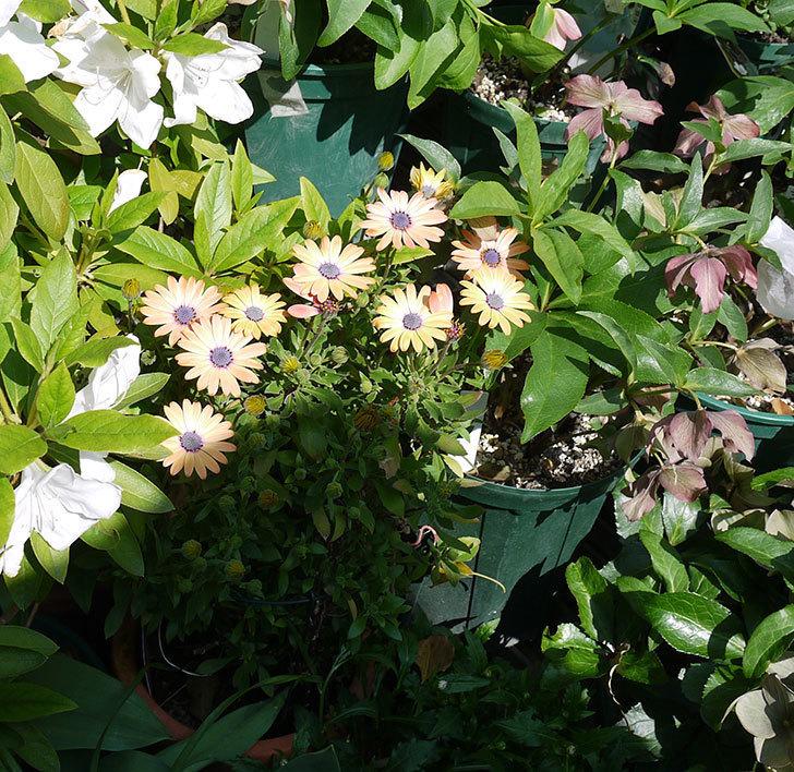オステオスペルマム-セレニティ-ローズマジックの花が咲いた。2017年-2.jpg