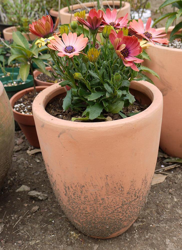 オステオスペルマムを鉢に植えた。2016年-13.jpg