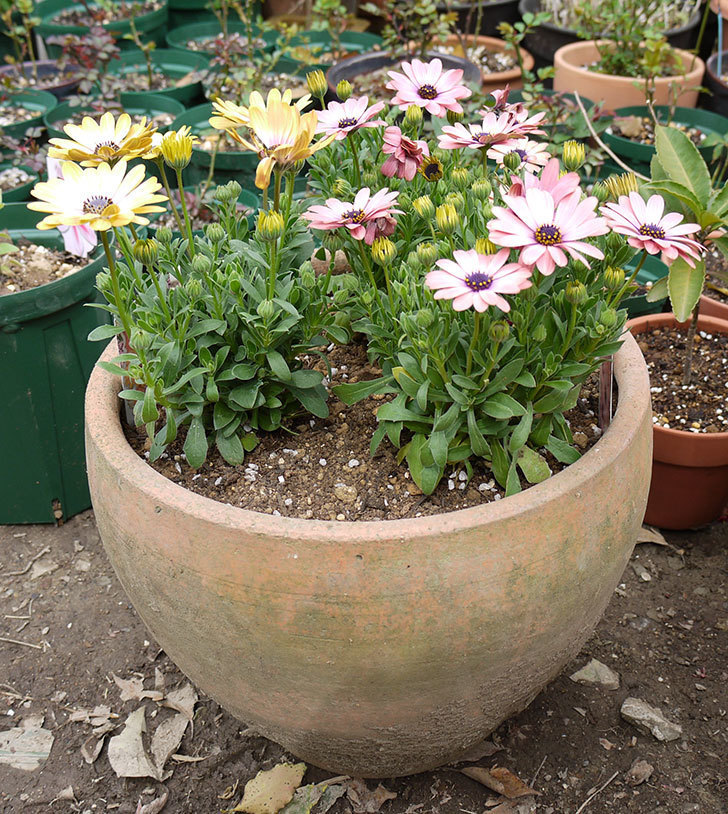 オステオスペルマムを鉢に植えた。2016年-14.jpg
