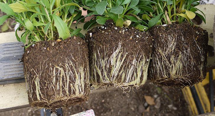 オステオスペルマムを鉢に植えた。2016年-3.jpg