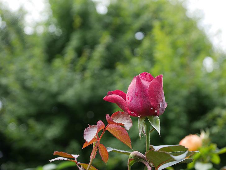オデュッセイア(Odysseia)の新苗に秋花が咲いた。半ツルバラ。2020年-001.jpg