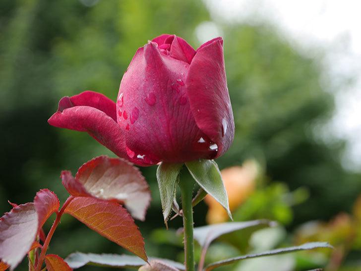 オデュッセイア(Odysseia)の新苗に秋花が咲いた。半ツルバラ。2020年-005.jpg