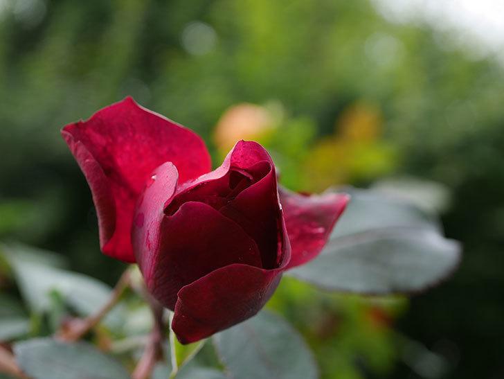 オデュッセイア(Odysseia)の新苗に秋花が咲いた。半ツルバラ。2020年-010.jpg