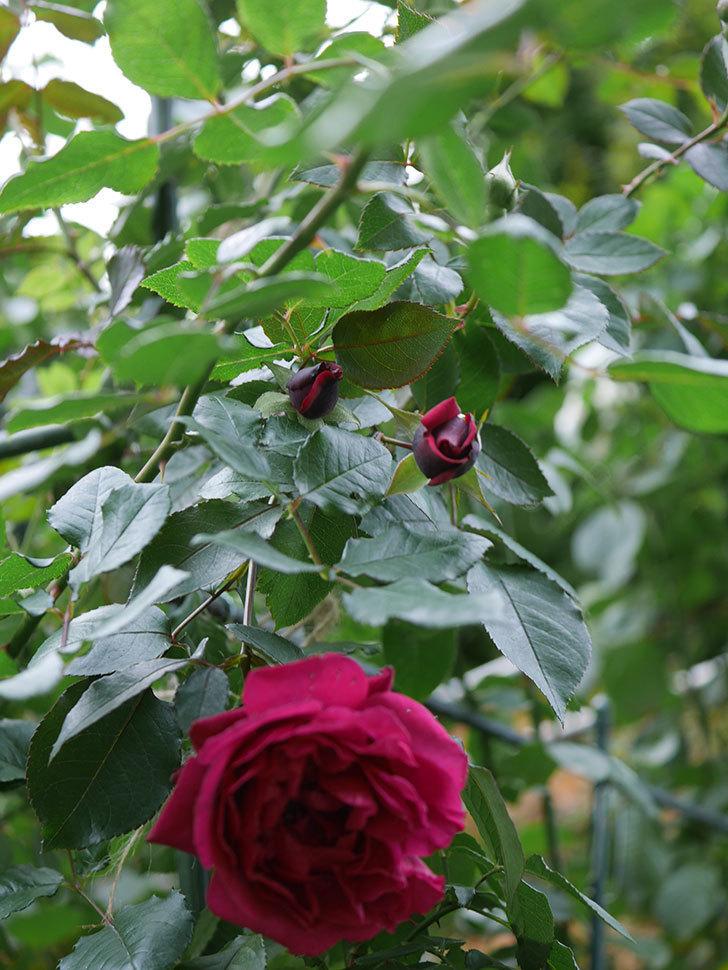 オデュッセイア(Odysseia)の新苗に秋花が綺麗に咲いた。半ツルバラ。2020年-012.jpg
