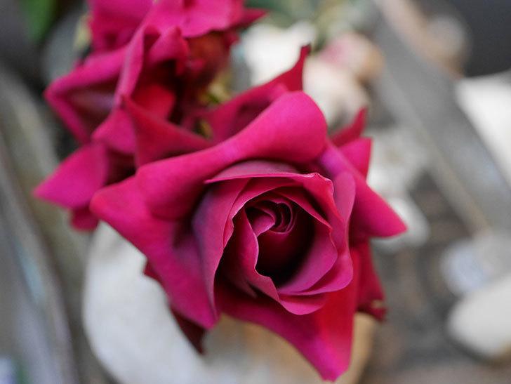 オデュッセイア(Odysseia)の新苗の秋花を切り花にした。半ツルバラ。2020年-006.jpg