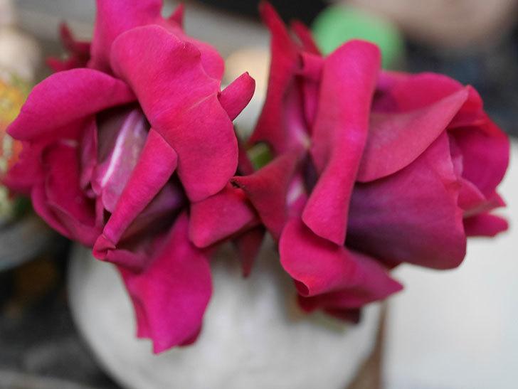オデュッセイア(Odysseia)の新苗の秋花を切り花にした。半ツルバラ。2020年-007.jpg