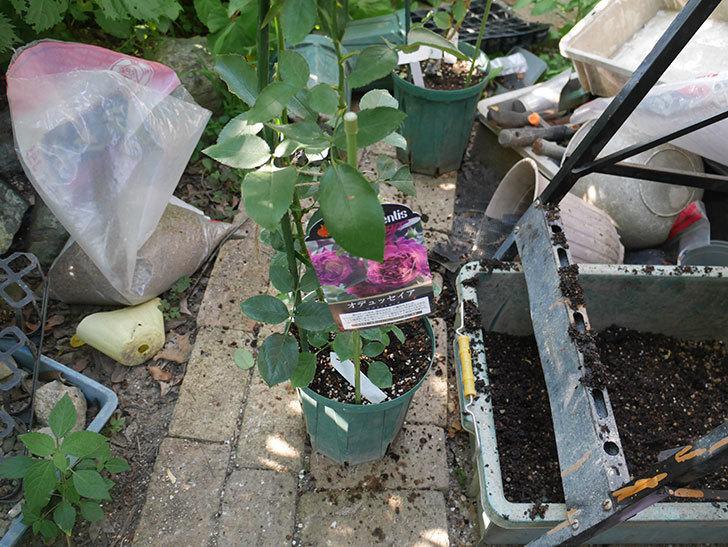 オデュッセイア(Odysseia)の新苗を根はり鉢 10号に植え換えた。半ツルバラ。2020年-001.jpg