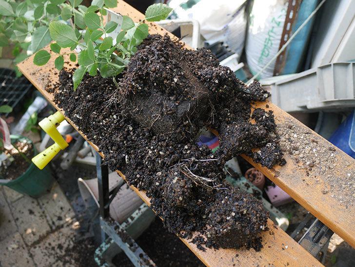 オデュッセイア(Odysseia)の新苗を根はり鉢 10号に植え換えた。半ツルバラ。2020年-003.jpg