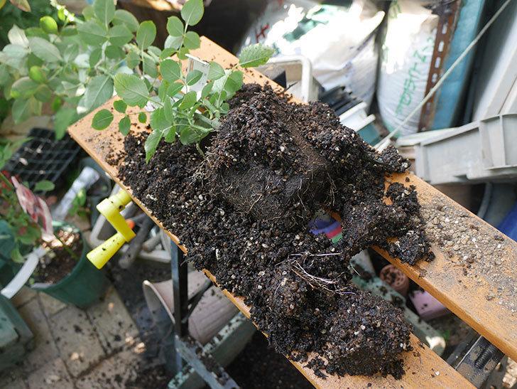 オデュッセイア(Odysseia)の新苗を根はり鉢 10号に植え換えた。半ツルバラ。2020年-004.jpg