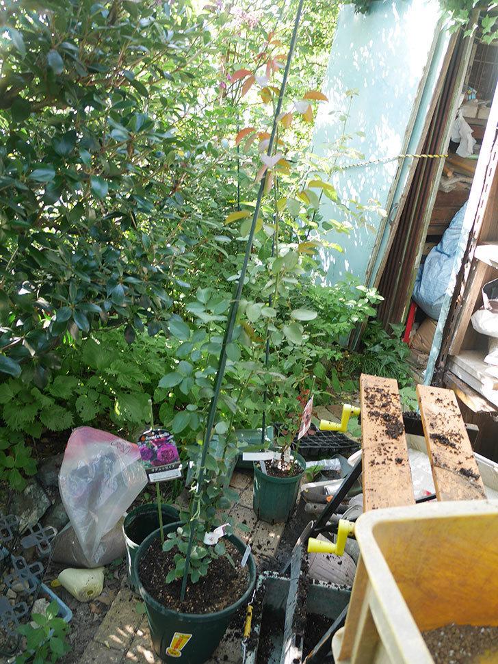 オデュッセイア(Odysseia)の新苗を根はり鉢 10号に植え換えた。半ツルバラ。2020年-005.jpg