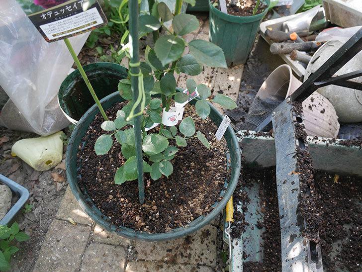 オデュッセイア(Odysseia)の新苗を根はり鉢 10号に植え換えた。半ツルバラ。2020年-006.jpg