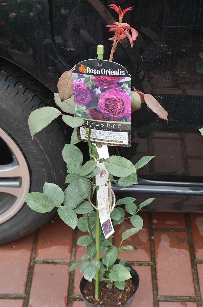 オデュッセイア(Odysseia)の新苗を楽天のバラの家で買った。半ツルバラ。2020年-001.jpg