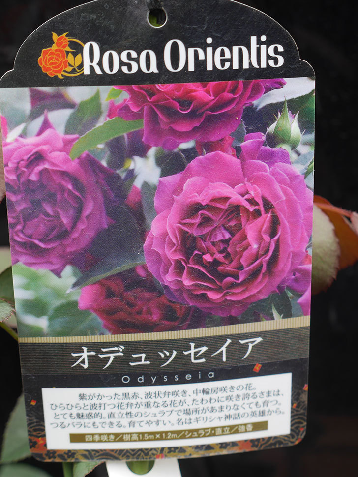 オデュッセイア(Odysseia)の新苗を楽天のバラの家で買った。半ツルバラ。2020年-002.jpg