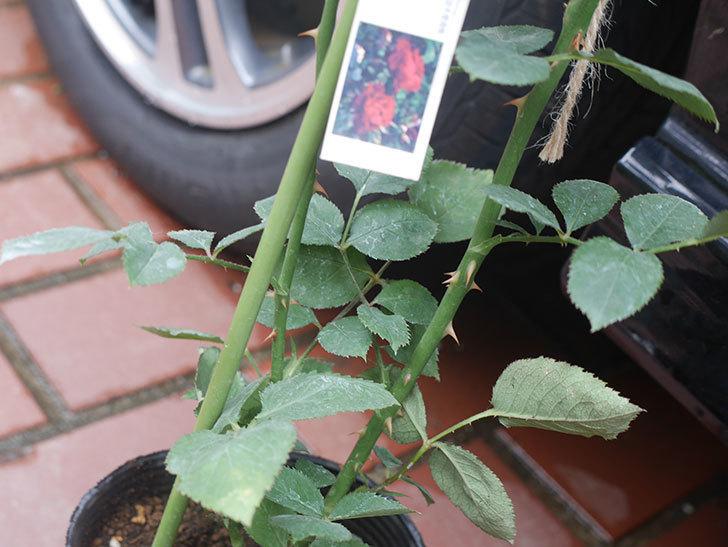 オデュッセイア(Odysseia)の新苗を楽天のバラの家で買った。半ツルバラ。2020年-004.jpg