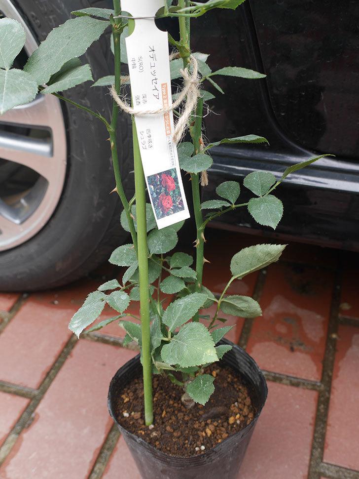 オデュッセイア(Odysseia)の新苗を楽天のバラの家で買った。半ツルバラ。2020年-005.jpg