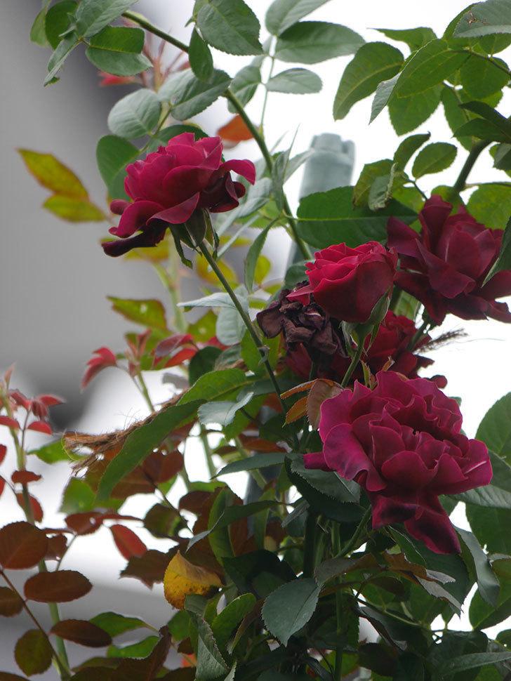 オデュッセイア(Odysseia)の秋花が咲いた。半ツルバラ。2021年-043.jpg