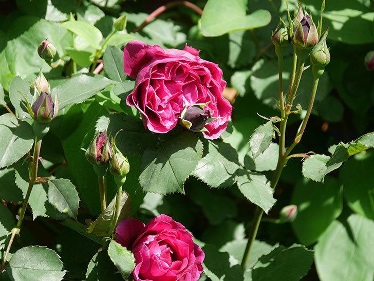 オデュッセイア(Odysseia)の花が咲いた。半ツルバラ。2021年-002.jpg
