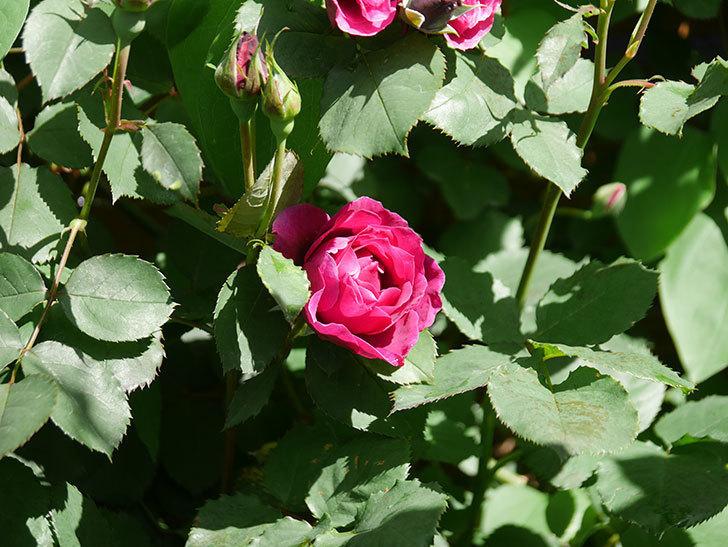 オデュッセイア(Odysseia)の花が咲いた。半ツルバラ。2021年-003.jpg