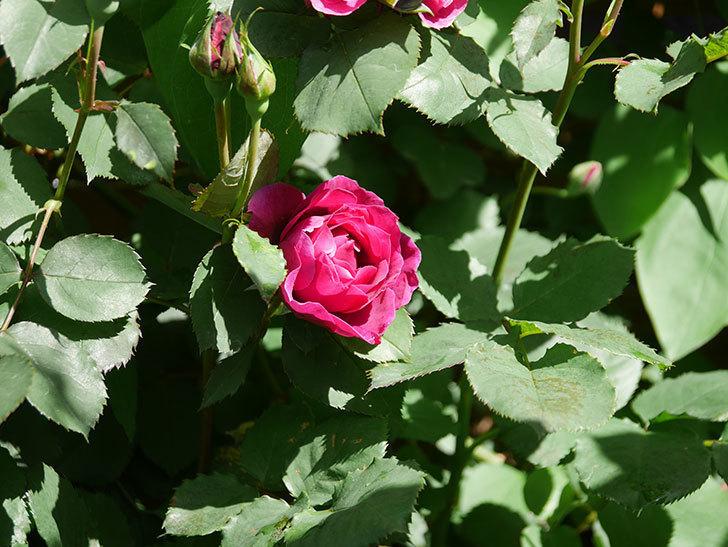 オデュッセイア(Odysseia)の花が咲いた。半ツルバラ。2021年-004.jpg