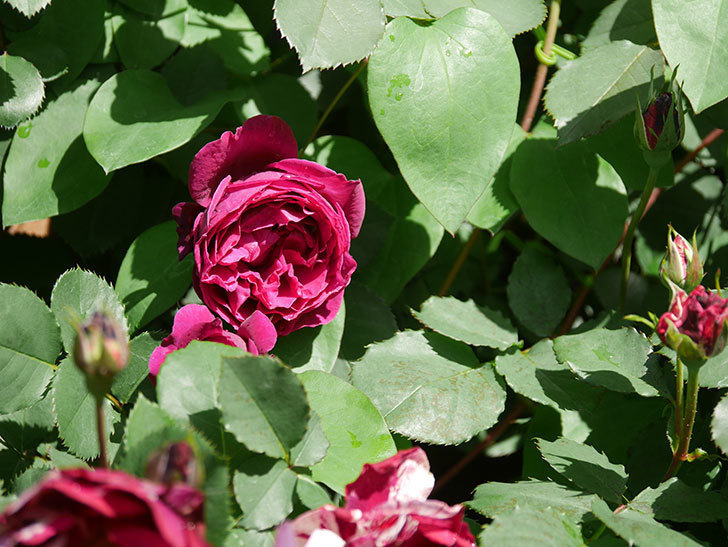 オデュッセイア(Odysseia)の花が咲いた。半ツルバラ。2021年-006.jpg