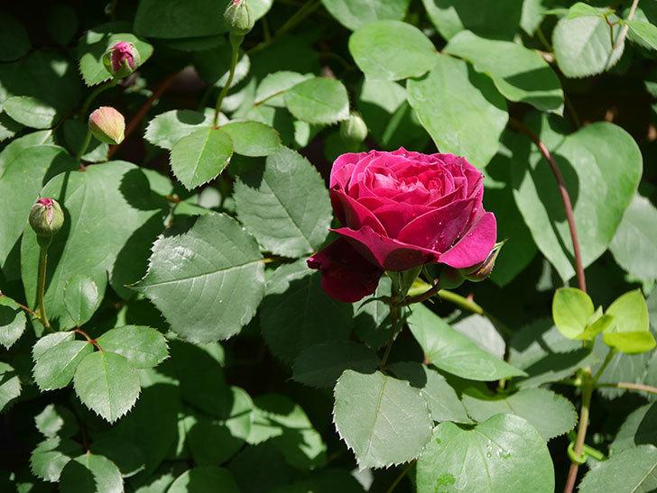 オデュッセイア(Odysseia)の花が咲いた。半ツルバラ。2021年-007.jpg