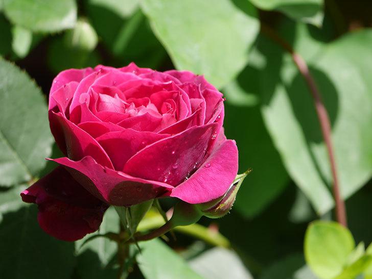 オデュッセイア(Odysseia)の花が咲いた。半ツルバラ。2021年-011.jpg