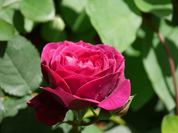 オデュッセイア(Odysseia)の花が咲いた。半ツルバラ。2021年-012.jpg
