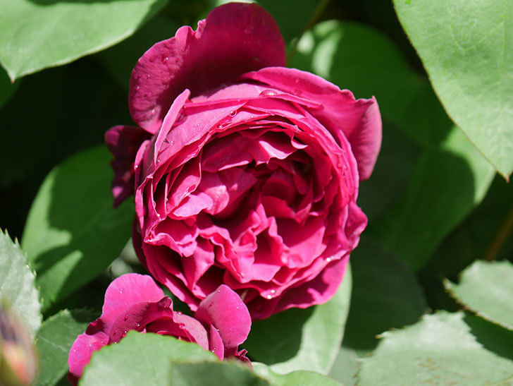 オデュッセイア(Odysseia)の花が咲いた。半ツルバラ。2021年-013.jpg