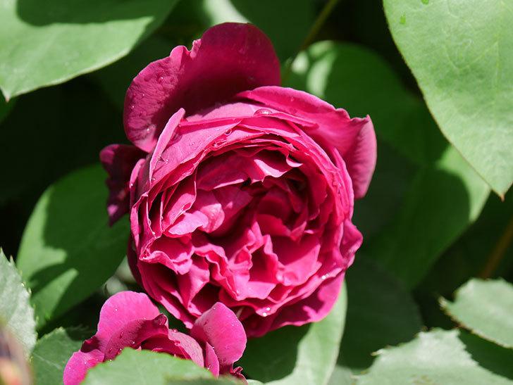 オデュッセイア(Odysseia)の花が咲いた。半ツルバラ。2021年-014.jpg
