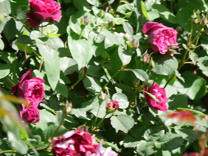 オデュッセイア(Odysseia)の花が咲いた。半ツルバラ。2021年-016.jpg