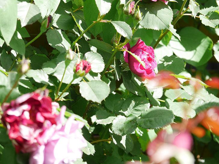 オデュッセイア(Odysseia)の花が咲いた。半ツルバラ。2021年-017.jpg