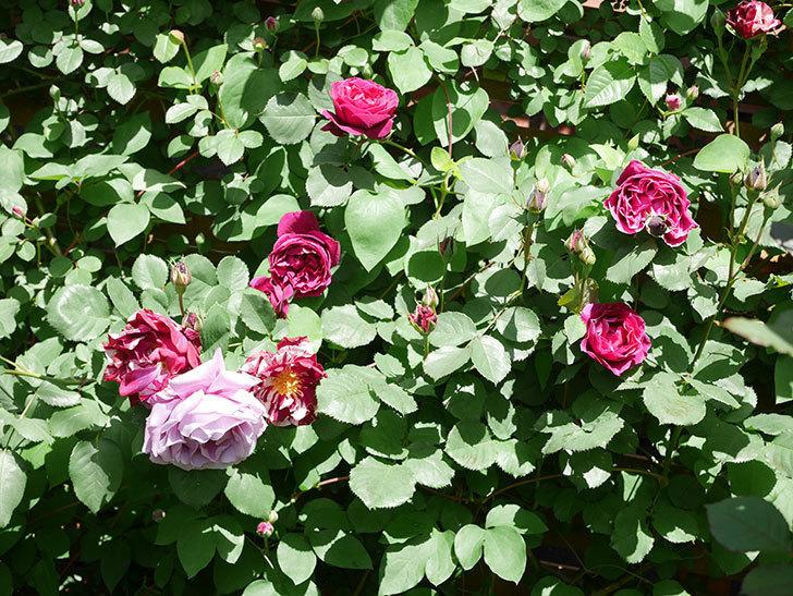 オデュッセイア(Odysseia)の花が咲いた。半ツルバラ。2021年-020.jpg