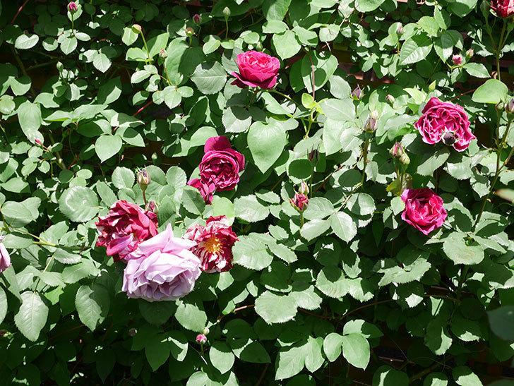 オデュッセイア(Odysseia)の花が咲いた。半ツルバラ。2021年-021.jpg